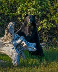 bearwatching tour in Tofino